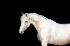 Weißes Pony mit Stellen auf schwarzem Hintergrund Lizenzfreies Stockfoto
