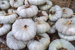 Weißes pumpkings Wunder Lizenzfreie Stockfotografie