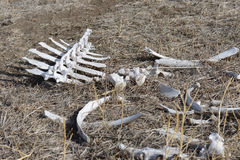 Weißes Rückgrat und eine Zusammenstellung der trockenen Knochen im wilden Lizenzfreies Stockbild