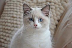 Weißes ragdoll Kätzchen lizenzfreies stockbild