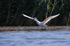 Weißes Reiher Egreta garzeta Fischen Lizenzfreies Stockfoto