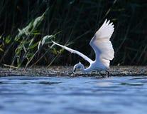 Weißes Reiher Egreta garzeta Fischen Lizenzfreies Stockbild
