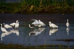 Weißes Reiherfischen in einem Teich in einem Sumpfgebiet lizenzfreie stockfotos