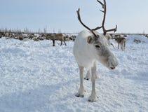 Weißes Ren auf dem Hintergrund der Herde Stockfoto