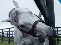 Weißes Rennpferd stockfotos