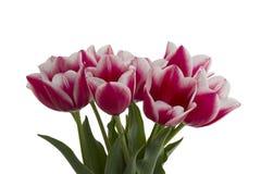Weißes Rosa der Tulpen lizenzfreie stockfotos