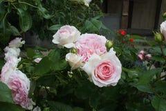Weißes Rosa Rose stockbild