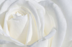 Weißes Rosen-Makro lizenzfreie stockfotografie