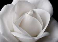 Weißes Rosen-Makro Lizenzfreies Stockfoto