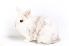 Weißes süßes Kaninchen Lizenzfreie Stockfotos