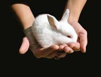 Weißes Schätzchenkaninchen in den Händen der Frau Stockbild