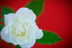 Weißes schönes stieg Lizenzfreie Stockbilder
