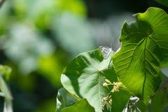 Weißes Schmetterlings-OM-Grünblatt Lizenzfreie Stockfotos