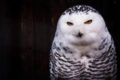 Weißes Schwarzes beschmutztes Owl Eyes Yellow Stare Beak stockfoto