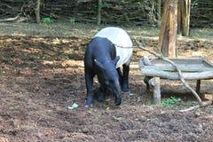 Weißes schwarzes Tapir Ä  abrakovà ½ Stockfotos