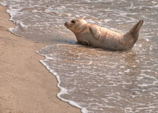 Weißes Seelöwe Stockfotos
