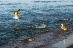Weißes Seemöwenfliegen stockfotografie