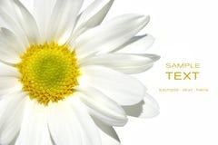 Weißes shasta Gänseblümchen auf Weiß Stockbilder