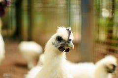 Weißes silkie Huhn im Zoohintergrund Stockfotografie