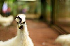 Weißes silkie Huhn im Zoohintergrund Stockfotos