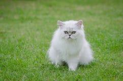 Weißes Sitzen der persischen Katze Stockfotos