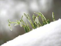 Weißes snowdrop lizenzfreies stockfoto