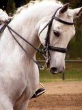 Weißes Sportpferdenportrait mit Zaum Stockfoto