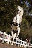 Weißes Stallion-Springen Stockbilder
