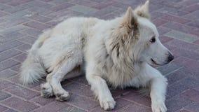 Weißes Straßenhundeabstreifenlügen auf einer Pflasterung stock footage