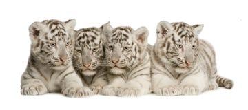 Weißes Tigerjunges (2 Monate) Lizenzfreies Stockbild