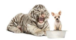 Weißes Tigerjunges, das an einem Chihuahuawelpen, lokalisiert schreit Stockfotos
