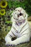 Weißes Tigerlügen und -knurren stockbild