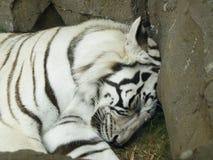 Weißes Tigerschlafen Stockbilder