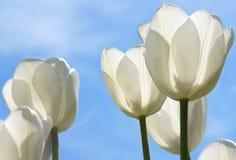 Weißes Tulpe-Feld stockfotografie