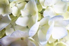 Weißes und blaues Hortensie-Blumen-Bündel Lizenzfreie Stockfotos