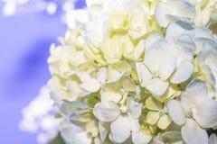 Weißes und blaues Hortensie-Blumen-Bündel Lizenzfreie Stockbilder