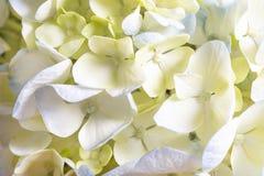 Weißes und blaues Hortensie-Blumen-Bündel Stockbilder