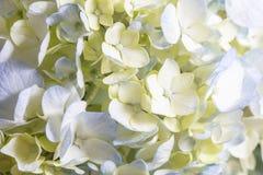 Weißes und blaues Hortensie-Blumen-Bündel Stockfoto