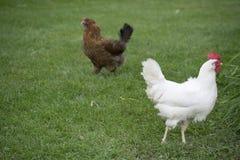 Weißes und braunes Huhn auf Gras Lizenzfreie Stockfotografie