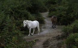 Weißes und braunes neues Waldponygehen Lizenzfreie Stockbilder