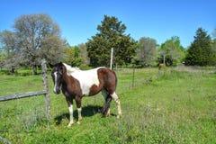 Weißes und braunes Pferd Lizenzfreies Stockfoto