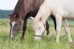 Weißes und braunes Pferdeessen Lizenzfreie Stockfotografie