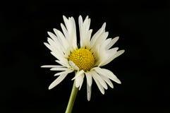 Weißes und gelbes Gänseblümchen gegen Schwarzes lizenzfreie stockbilder