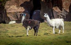 Weißes und geschmücktes Schwarzweiss-Lama - Bolivien lizenzfreies stockfoto
