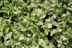 Weißes und grünes Blatt Stockbilder