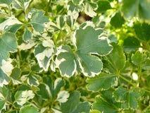 Weißes und grünes Blatt von Polyscias Stockbild
