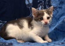 weißes und graues nettes Kätzchen stockbild
