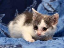 weißes und graues nettes Kätzchen lizenzfreie stockfotos