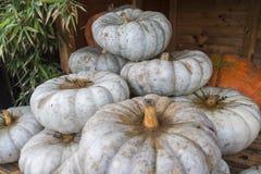 Weißes und orange pumpkings Wunder Stockfoto