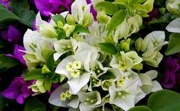 Weißes und purpurrotes Bouganvilla blüht mit grünen Blättern Lizenzfreie Stockfotos